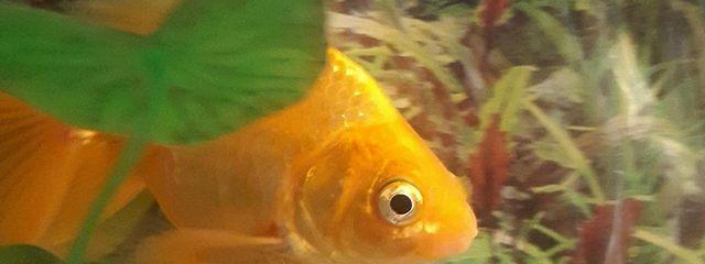 Семь рыбок золотых и одна черная